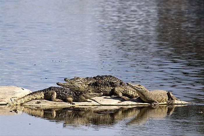 Nile Crocodiles (Leon Marais)