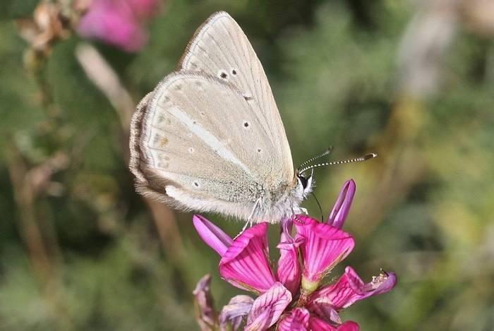 Polyommatus (=Agrodiaetus) ripartii  - Ripart's Anomalous Blue (Alan Outen)