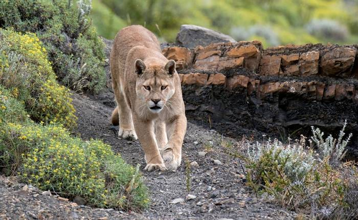Puma, Chile