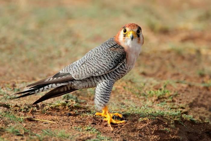 Red-necked Falcon, Kalahari, South Africa shutterstock_288928970.jpg