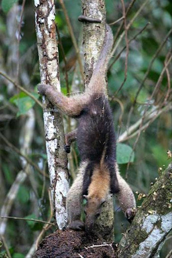 Arboreal Anteater (Paul Gale)