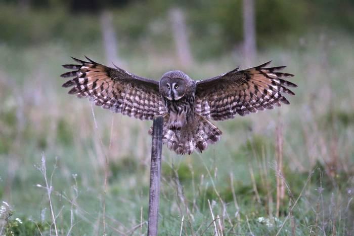 Great Grey Owl (Gordon Small)