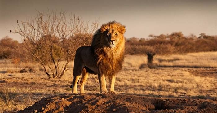 Lion, Kalahari, Botswana Shutterstock 547175677