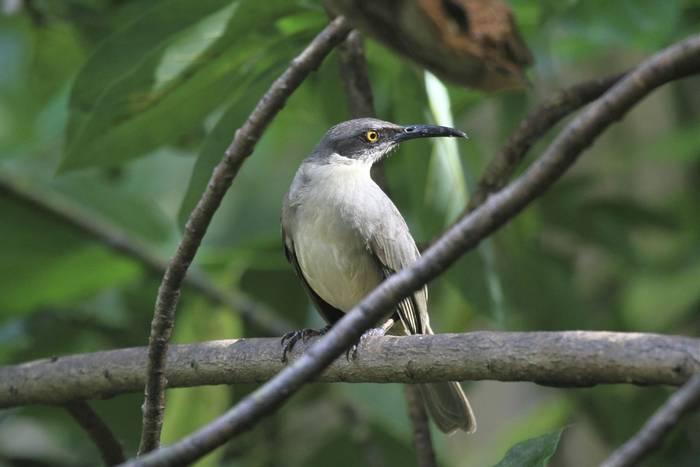 Gray Trembler, St Lucia