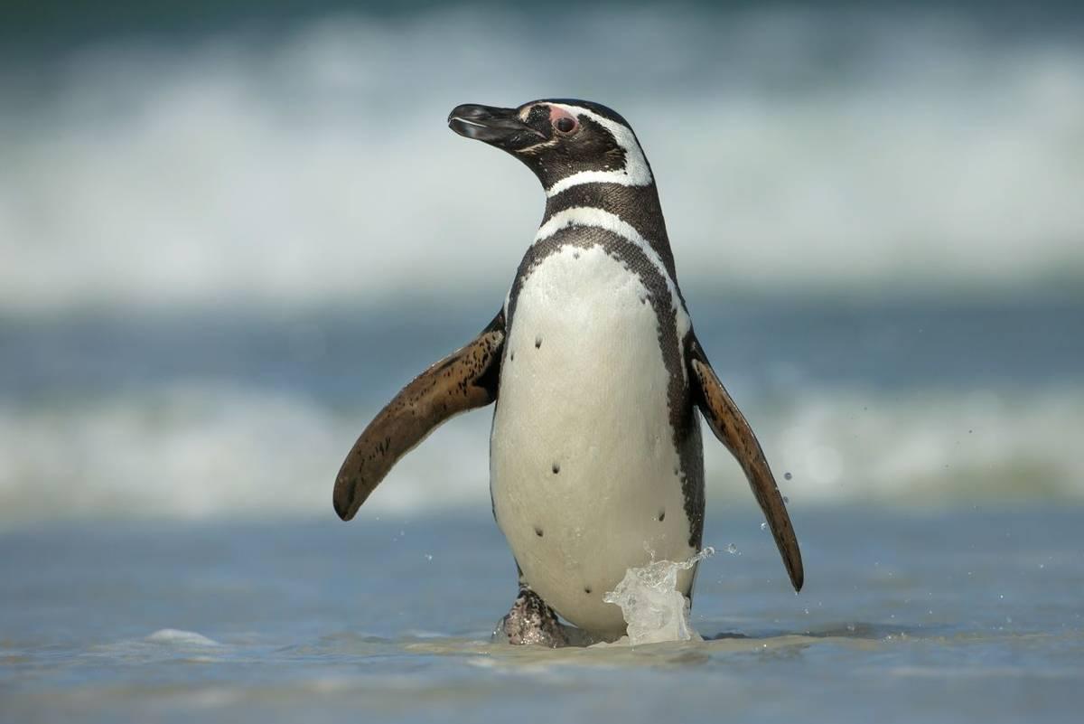 Magellanic penguin shutterstock_272030246.jpg