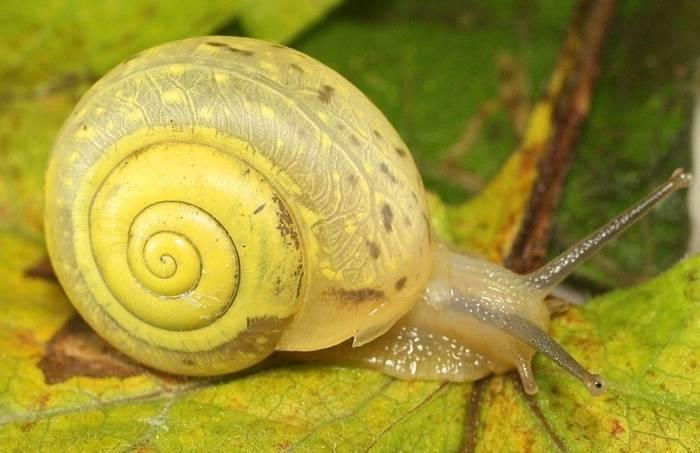 Euomphalia strigella snail (Alan Outen)