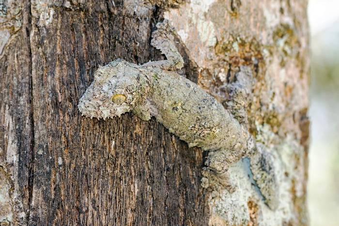 Mossy Leaf-tailed Gecko, Madagascar shutterstock_230353840.jpg
