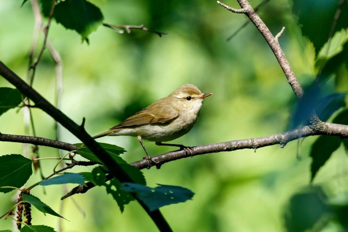 Greenish Warbler, Latvia shutterstock_1330259432.jpg