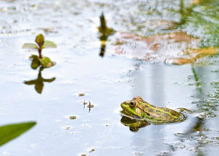 Marsh Frog, Spain shutterstock_1706335525.jpg