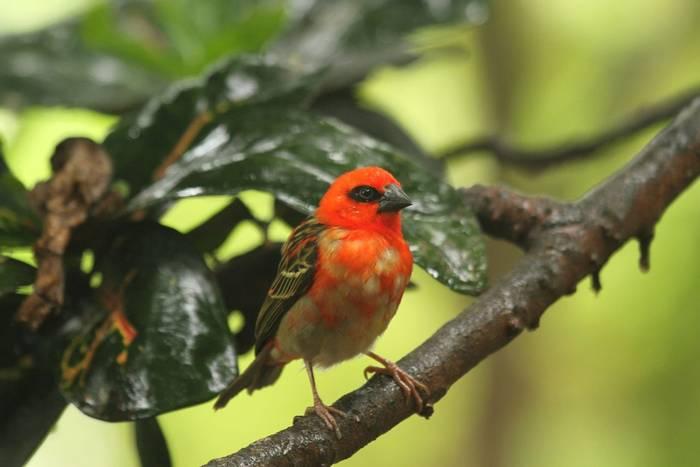 Red Fody (Andrew Lapworth).jpg