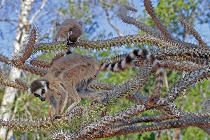 Ring-tailed Lemur, Madagascar shutterstock_1297229296.jpg