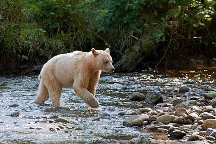Spirit-Bear - Princess Royal Island (Paul Stanbury)