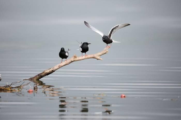 White-winged Terns shutterstock_412089505.jpg