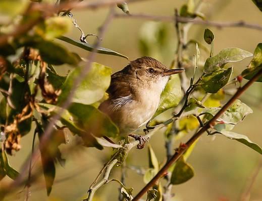 Blyth's Reed Warbler - Koladeo Reserve (Neil Pont)