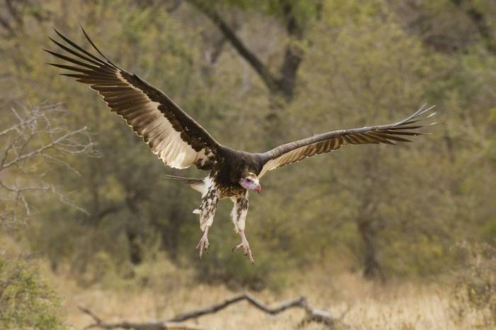 White-headed Vulture, South Africa shutterstock_95944417.jpg