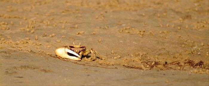 Fiddler Crab (David Morris)