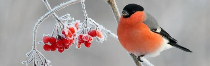 Bullfinch Shutterstock 593500199