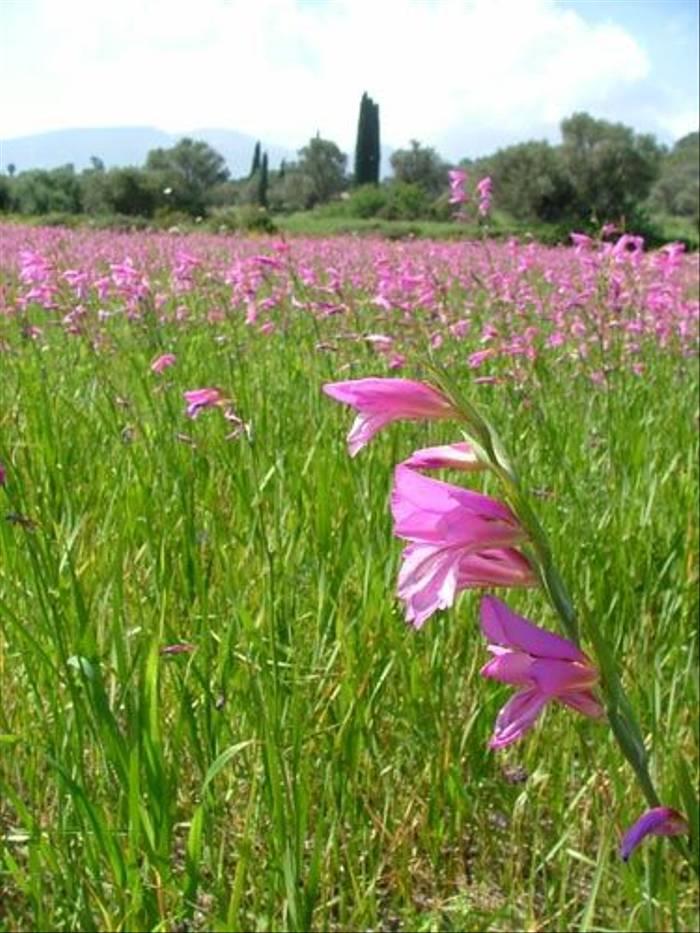 Gladiolus italicus - Field Gladiolus (Tony Albrehart)