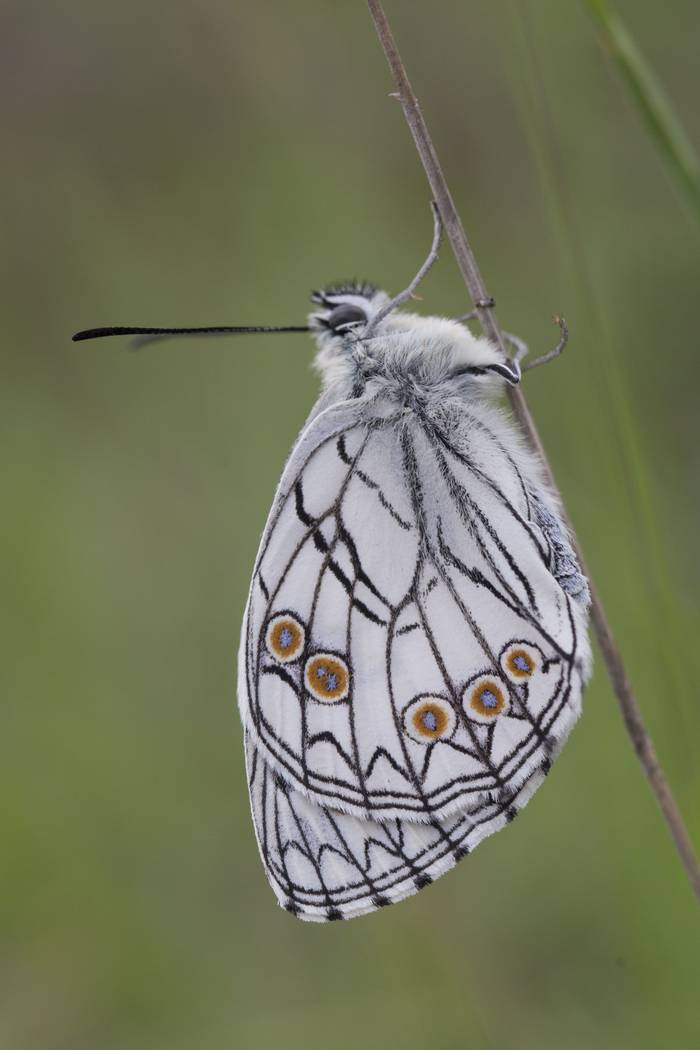 Italian Marbled White butterfly.jpg