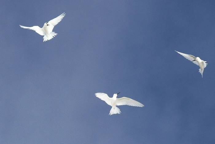 Fairy Terns in flight (Andrew Lapworth).jpg