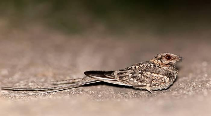 Scissor-tailed Nightjar