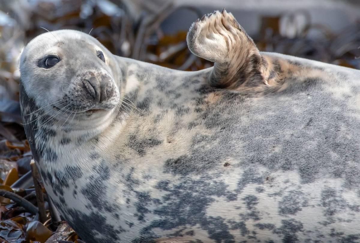 Grey Seal (Lindsey Smith).jpg