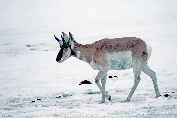 Pronghorn_(Peter Dunn)