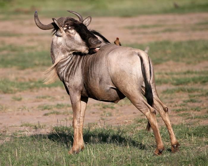 White-bearded Wildebeest (Karen Malte Nielsen)