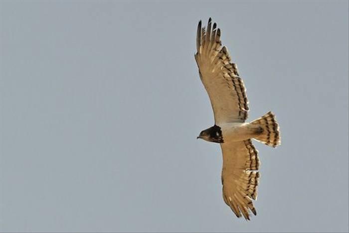 Black-chested Snake Eagle (Tim Meling)