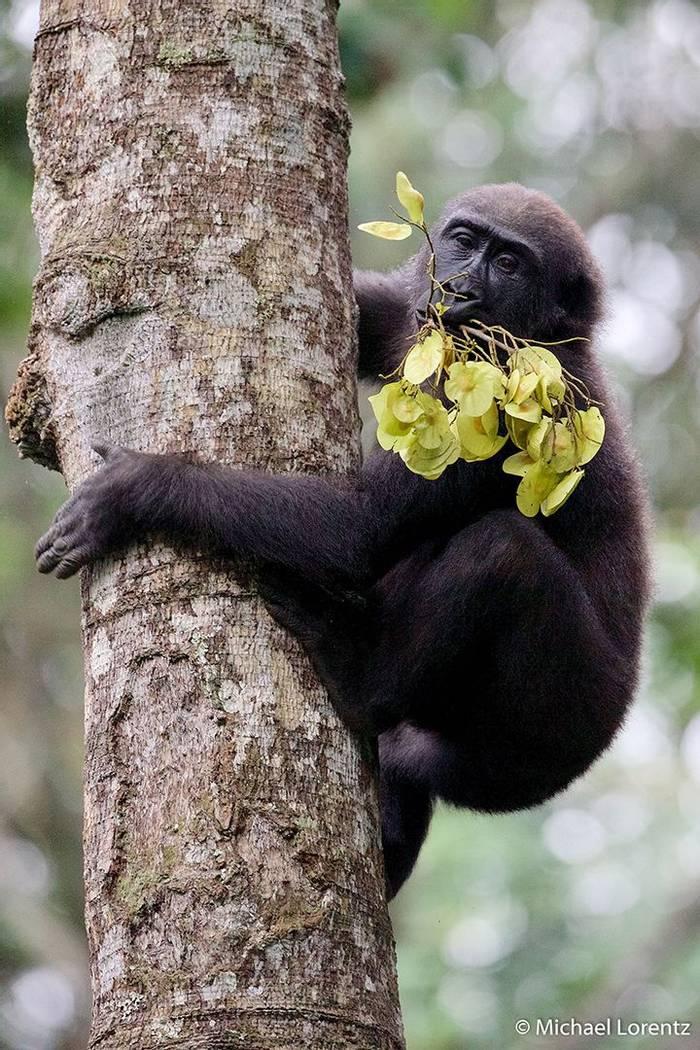 Gorilla trekking (Michael Lorentz).jpg