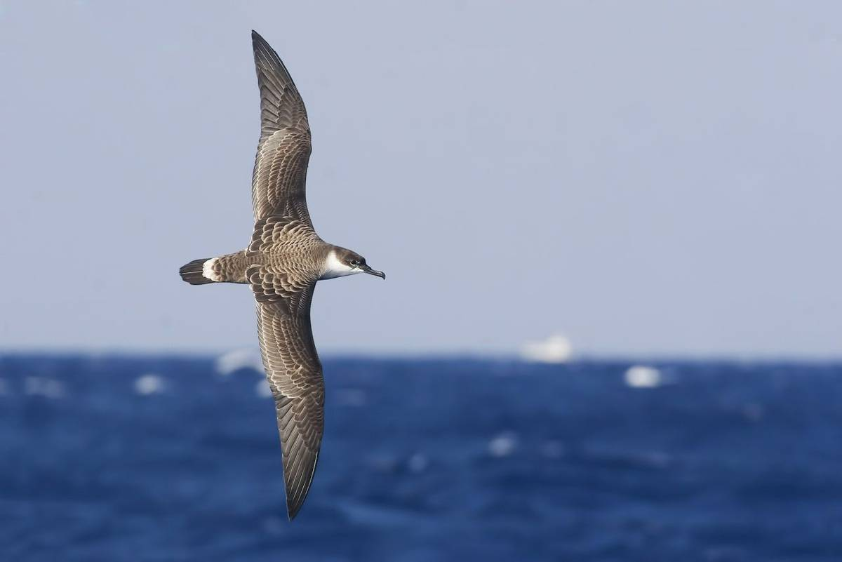 Great Shearwater shutterstock_404310328.jpg