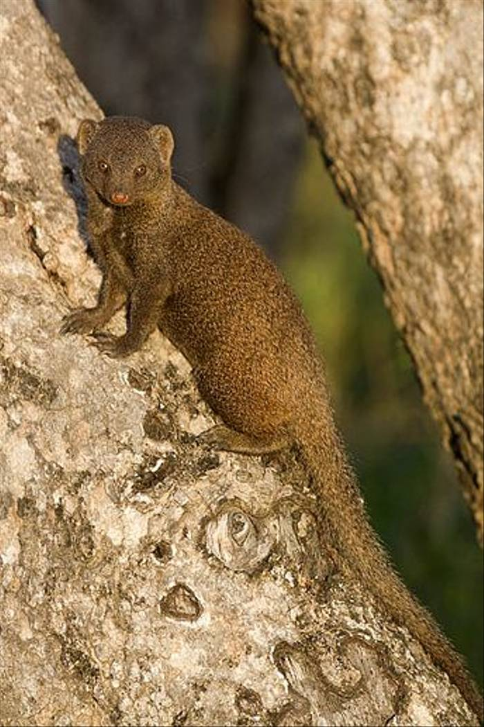 Dwarf Mongoose (Leon Marais)