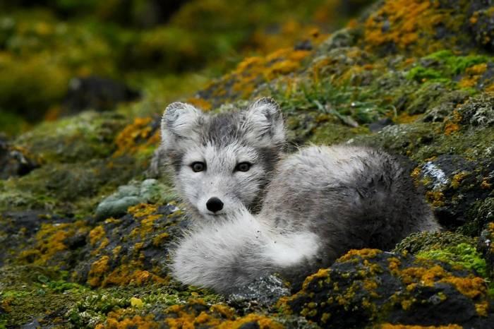 Arctic Fox on Kuhn Island.jpg