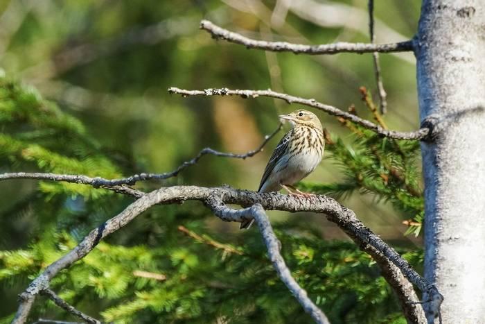 Tree Pipit shutterstock_1534055339.jpg