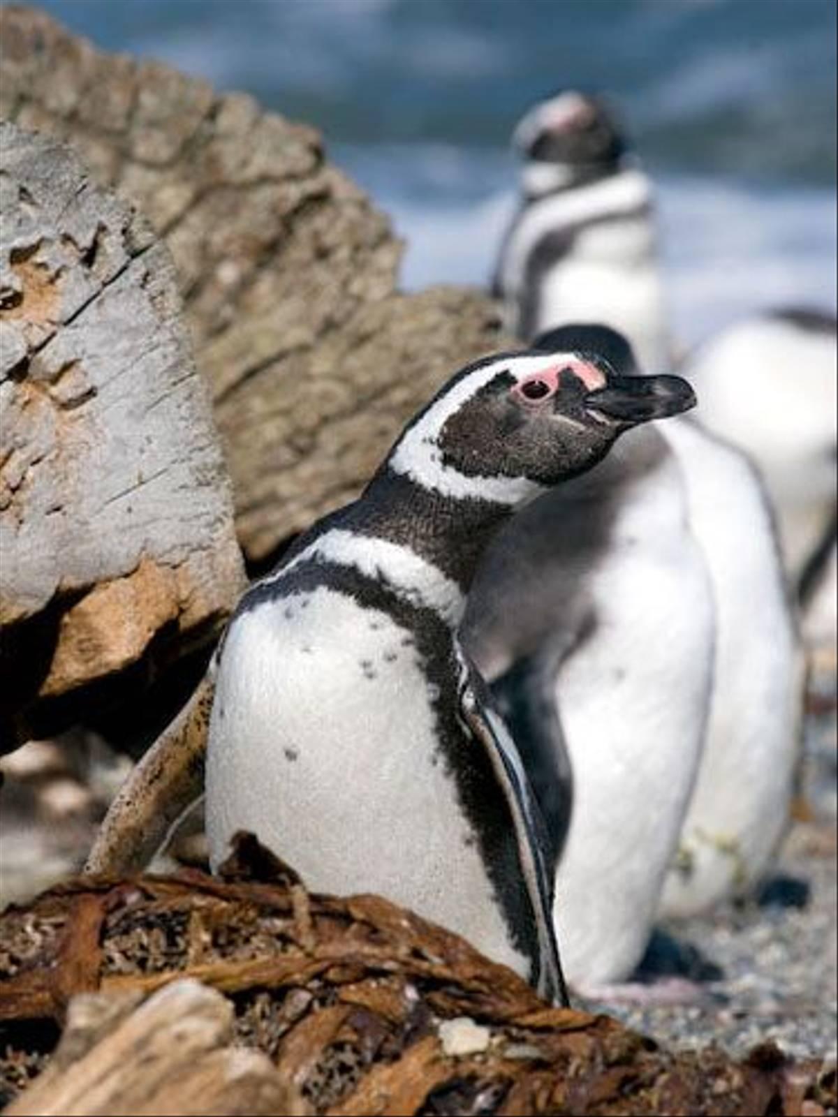 Magellanic Penguin (Claudio Vidal)