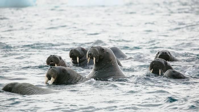 Walruses © John Bozinov (2).jpg