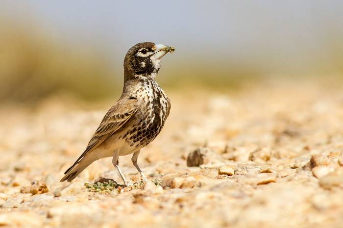 thick billed lark_Javi Elorriaga.jpg