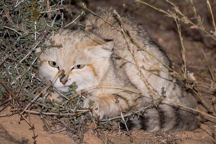 Sand Cat_ Javi Elorriaga.jpg