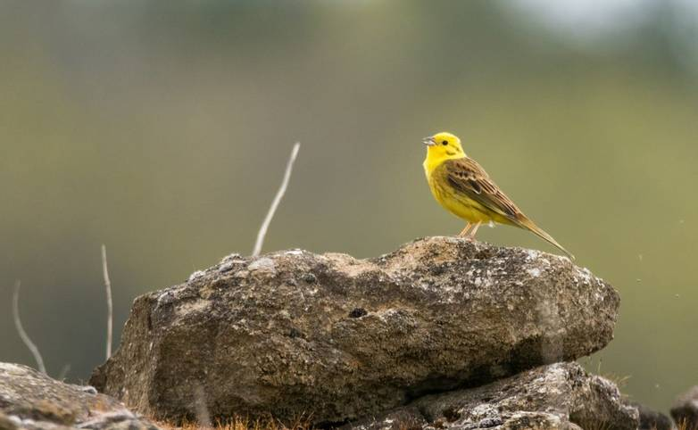 Male songbird in the bunting family (Emberizidae), with bright yellow head and breast