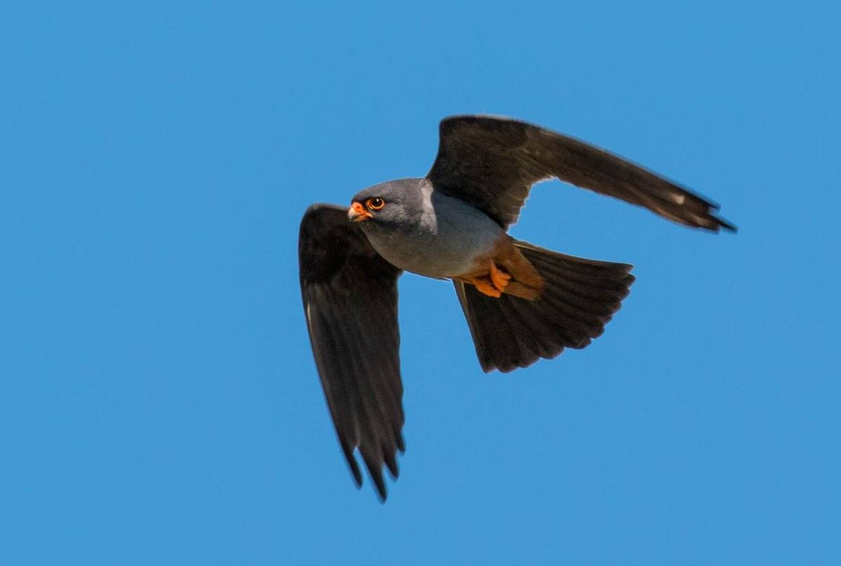 Red-Footed Falcon (Ian Tulloch)