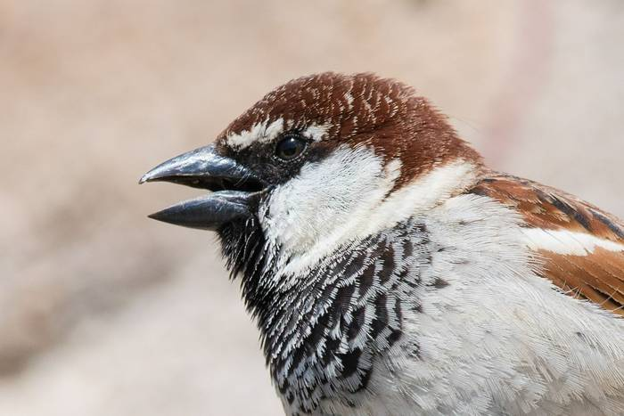 Italian Sparrow male (Mike Vickers)