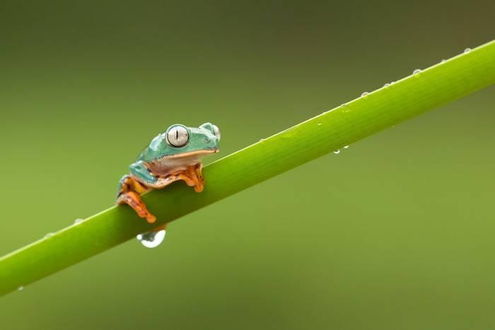 Barred Leaf Frog, Guyana shutterstock_630610316.jpg