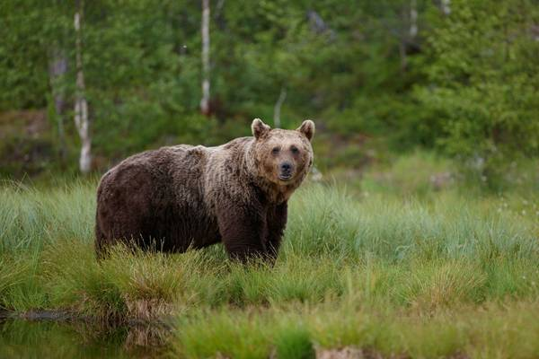 Brown Bear (2)