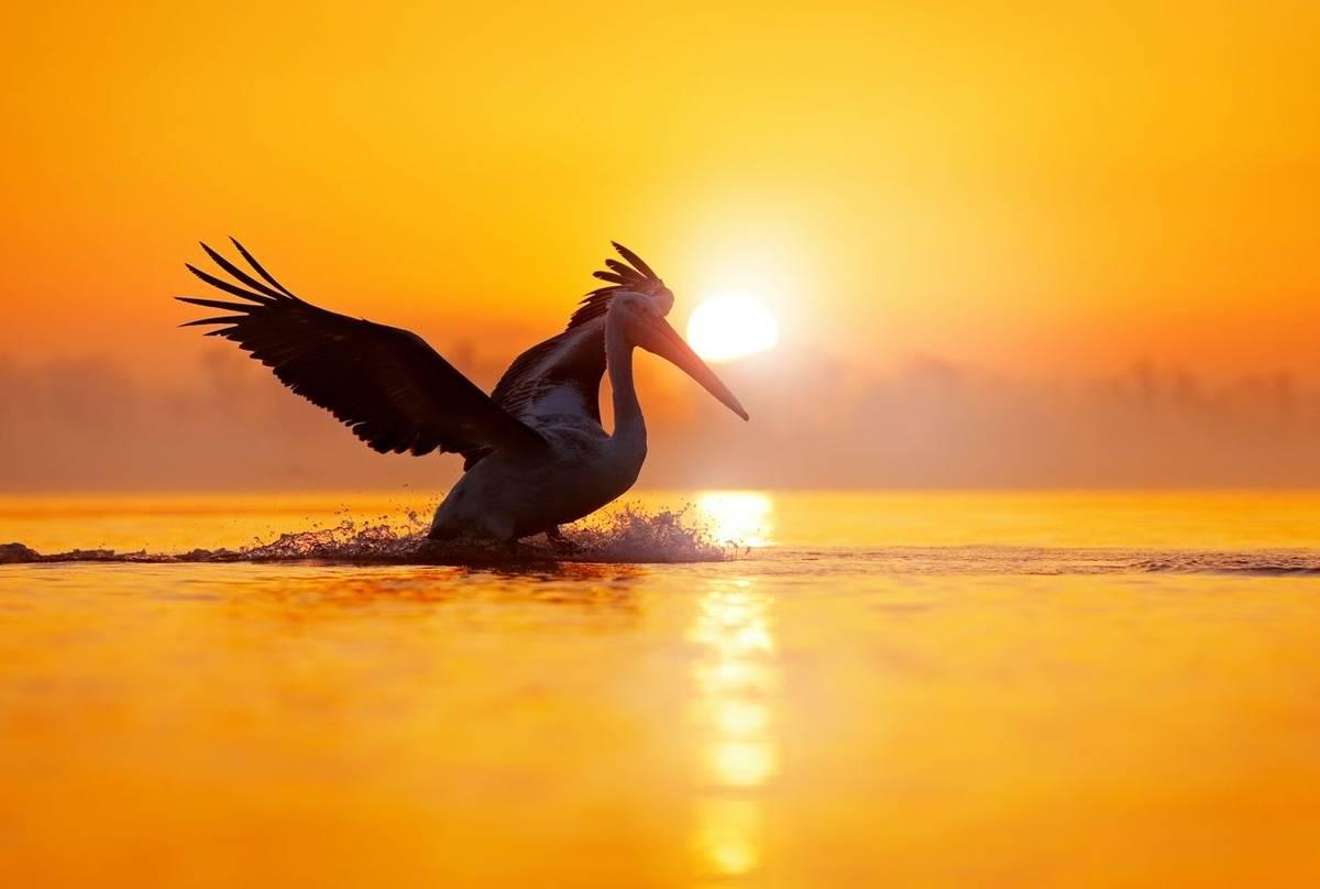 Dalmatian pelican,  Lake Kerkini, Greece  shutterstock_1241772925.jpg