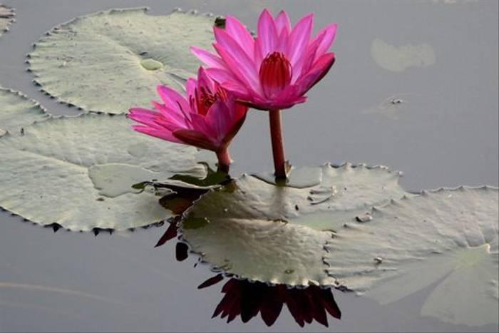 Lotus flowers (Tim Melling)