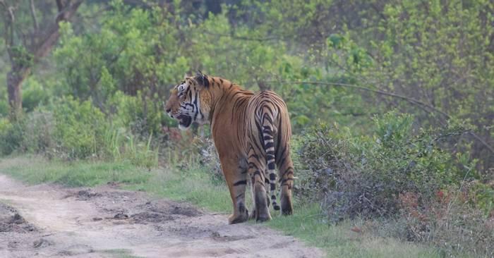 Tiger (Liz Seeber)