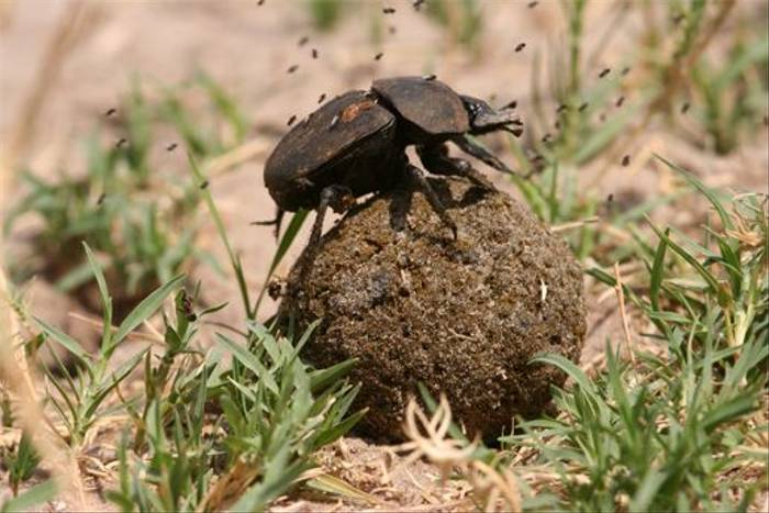 Dung Beetle (Grant Atkinson)