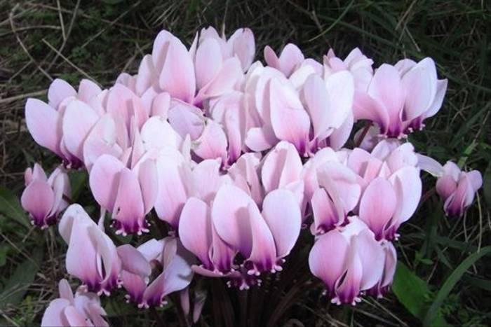 Cyclamen hederifolium (Andrew Radgick)