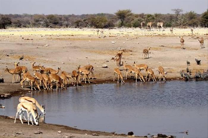 Springbok, Impala, Eland and Helmeted Guinea Fowl (Neil Macleod)