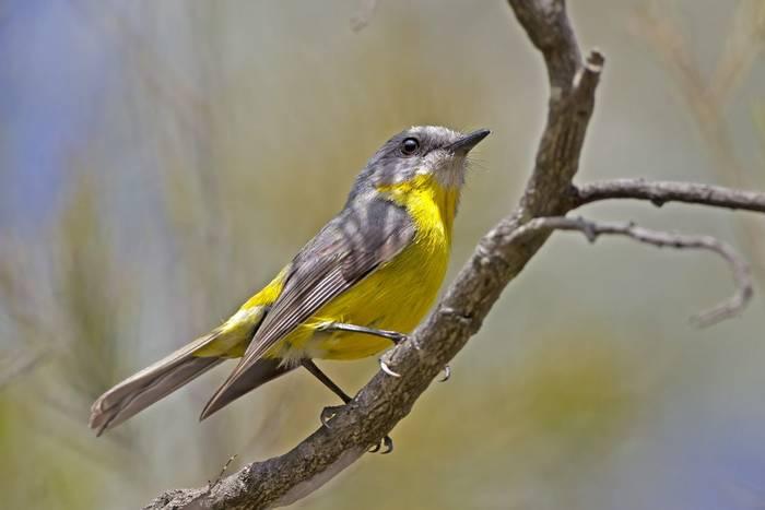 Eastern Yellow Robin, Australia shutterstock_368925308.jpg